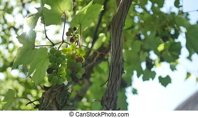 Bunch of fresh organic grape on vine branch.