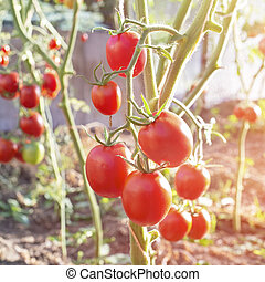 Bunch of fresh ripe tomatoes in greenhouse