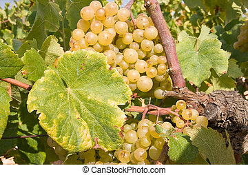 bunch of golden grapes on grapevine right before harvest