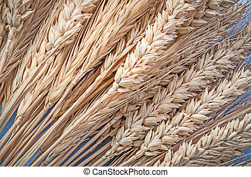 Bunch of golden wheat-rye ears on blue background close up view