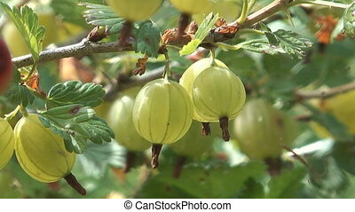 Bunch of gooseberries.
