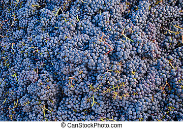 Bunch of Grapes - Bunch of blue grapes for textures and...