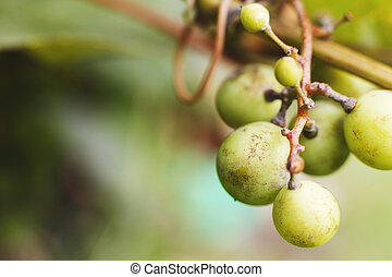 bunch of grapes close. bunch of grapes on a green background. bunch of unripe grapes
