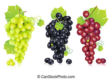 Bunch of Grapes - illustration of different variety of grape...
