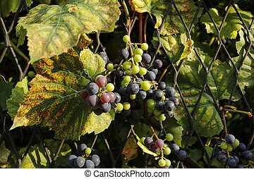 bunch of grapes in the rays of the setting sun
