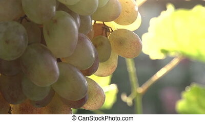 Bunch of Grapes in the Sun