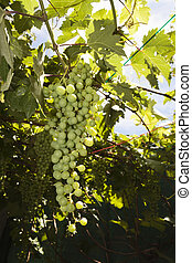 Bunch of grapes in the vine
