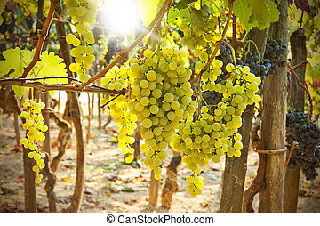 vineyard - bunch of grapes in the vineyard in the foreground
