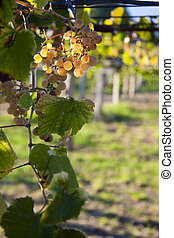 bunch of grapes in the vineyard