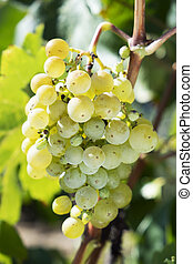 bunch of grapes on a grapevine