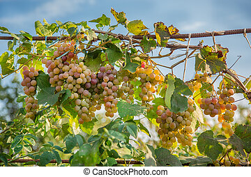 Bunch of grapes on a vine in the sunshine . The winegrowers grapes on a vine.