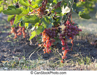 Bunch of grapes on a vine in the sunshine the winegrowers grapes on a vine red wine photo