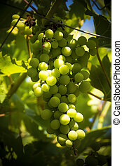 Bunch of grapes on the vine ripening in sunshine