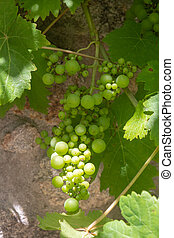 Bunch of grapes on vine stock