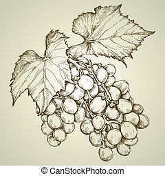 bunch of grapevine, this illustration may be useful as ...