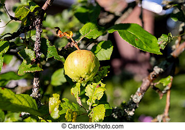 bunch of green apples on a branch ready to be harvested.Fresh and Ripe Apples In The Garden With Bright Sun. Apple tree With Sunlight