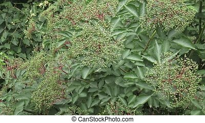 Bunch of green elderberry berries. Unripe (Sambucus nigra)