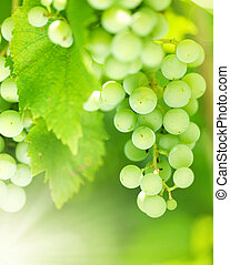 Bunch Of Green Grapes On Grapevine In Vineyard