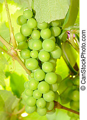 Bunch of Green Grapes on Vine in Vineyard