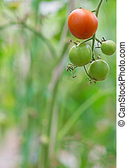 Bunch of green tomatoes on a branch. Place for text.