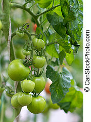 Bunch of green tomatoes on a branch.