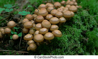 Bunch of honey fungus on the ground of the forest