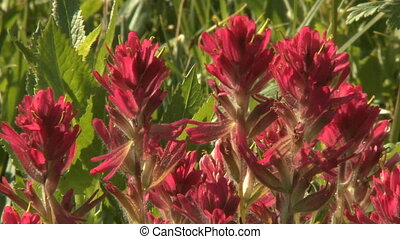 Indian Paintbrush wildflowers - Bunch of Indian Paintbrush...