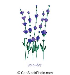 Bunch of lavender flowers on a white background. Romantic wedding invitations.