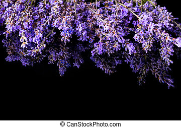 Bunch of lavender flowers on black background with reflection