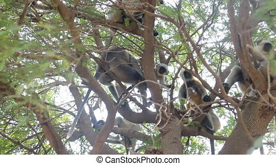 Bunch of monkeys (langur) got the branchy tree 1 - Flying...