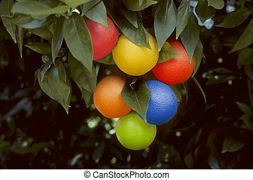 Bunch of multicolored oranges hanging on a tree