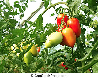 Bunch of oblong red tomatoes