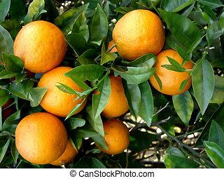 Bunch of oranges on tree