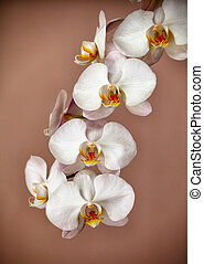 Bunch of orchid flowers on brown background