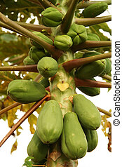 Bunch of papayas on a tree