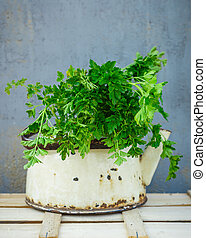Bunch of parsley in old vintage kettle