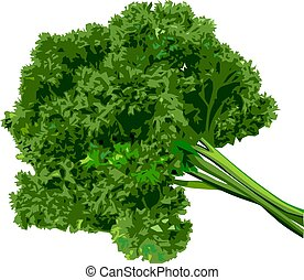 Bunch of parsley on a white background.