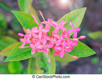 bunch of Pink ixora flower with green leaf