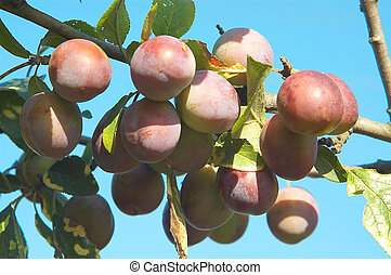 Bunch of plums.