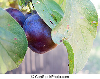 bunch of plums on a twig