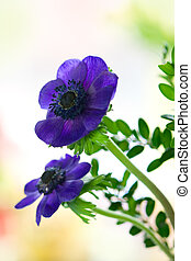 purple anemones   - Bunch of purple anemones