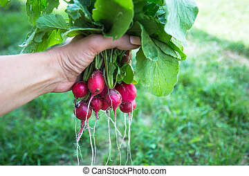 bunch of radishes with tops in hand
