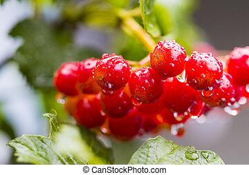 Bunch of Red Berries of Viburnum (Guelder rose) in garden...