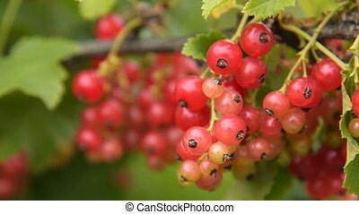 Bunch of red currant on the bush
