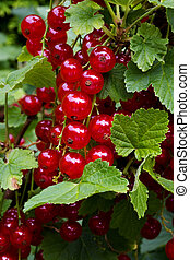 Bunch Of Red Currants - bunch of red currants, shallow dof....