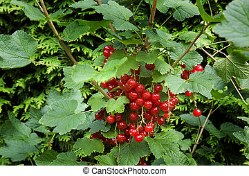 bunch of red currants, shallow dof. green leaves