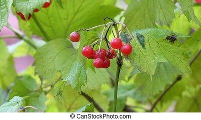 Bunch of red guelder-rose berries shakes a gentle breeze (Viburnum opulus)
