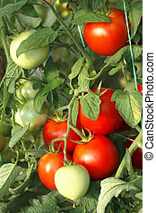 Bunch of red tomatoes in greenhouse
