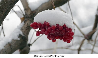 Bunch Of Red Viburnum Berries Covered With Snow