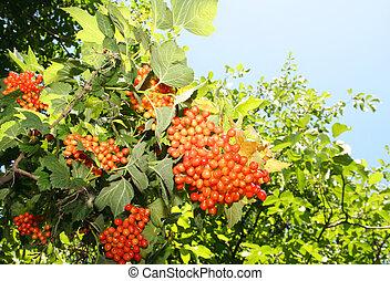Bunch of red viburnum tree against the sky, (Viburnum)